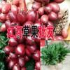 产地草果信息#云南草果种植基地#云南草果哪里多