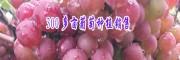 昭通葡萄多少钱一斤