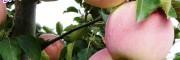 昭通苹果哪家的好|昭通苹果种植基地