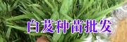 云南保山/大理/楚雄白芨小苗图片