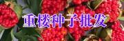 云南滇重楼种子图片_