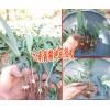 种植黄精几年才可以收&黄精苗价格及图片+15924791418