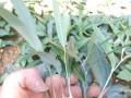 今日黄精种苗(块茎)报价+云南黄精种植分布在哪些地方