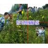 屏边县中药材种植有限公司#屏边红根野蚕豆