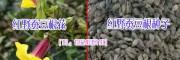 昆明红根野蚕豆种子多少钱一斤