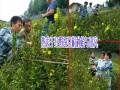 野蚕豆根种植公司/野蚕豆根购销/种植技术资料