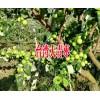 |弥渡县台湾青枣|弥渡县台湾青枣包装批发13988547957