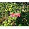 云南哪里台湾大青枣最多|云南最大的台湾大青枣种植基地|