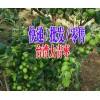 台湾青枣几月开花|青枣收购商|台湾青枣套袋图片|13988547957