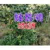 产地台湾大青枣|台湾大青枣种植基地|13988547957