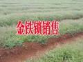 金铁锁又叫独定子#昆明金铁锁种子种植销售供应商