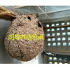 2017年第四季度云南胡蜂养殖供应@一只云南虎头蜂的价格