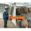 胡蜂蜂王过冬的新方法#胡蜂筑巢期间喂什么肉&云南周边人工养殖胡蜂
