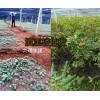 云南高杆滇重楼种子种植销售,大理振轩13987235380