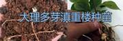 云南矮杆多芽滇重楼种子批发、种植销售