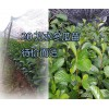 云南20万水冬瓜树苗销售,以及桃、木瓜果树苗批发