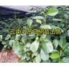 大理永平县20万优质水冬瓜苗出售、木瓜苗桃苗