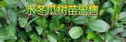 大量优质的水冬瓜(桤木)树苗,来自大理永平果苗种植基地