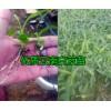 楚雄大姚优质白芨种苗多少钱一斤,白芨种苗图片