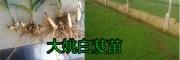 云南的白芨种苗价格是多少钱?优质白芨种苗图片