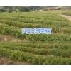 昆明地区优质板栗实生苗批发,安宁优质樱桃苗、核桃苗、毛桃苗销售