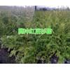 云南哪有红豆杉苗?腾冲现有40万棵红豆杉苗待出售