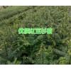 云南哪有便宜的红豆杉苗#保山腾冲红豆杉价格合理
