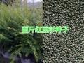 大理丽江野生红豆杉苗供应,百斤红豆杉种植出售