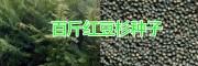 昆明3年生红豆杉苗价格多少钱一棵?