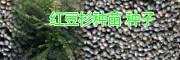 云南红豆杉松油果树苗|红豆杉种子销售