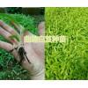 会泽白芨种苗批发优质小苗、驯化苗,白芨带芽块茎苗