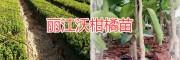丽江沃柑橘基地*永胜沃柑苗