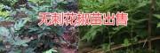 丽江无刺花椒苗批发价格,2018永胜无刺花椒销售