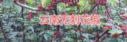 丽江大规模无刺花椒种植基地,永胜无刺花椒基地