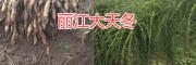 丽江大天冬种苗一棵要多少钱&永胜产的天门冬种子价格