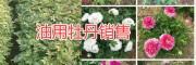 丽江油牡丹种植批发公司,永胜丽优油用牡丹基地
