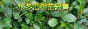 冬瓜苗图片|供应冬瓜苗信息+20万水冬瓜树苗