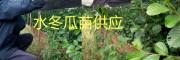 水冬瓜苗公司供应+大批冬桃苗、20万水冬瓜树苗
