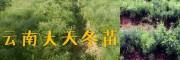 优质种苗批发:丽江天门冬种苗、丽江无刺花椒苗销售