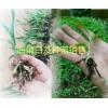 曲靖白芨种苗批发优质小苗、驯化苗,白芨带芽块茎苗