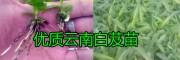 楚雄白芨苗种植基地,白芨成品、白芨苗销售