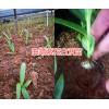 云南白芨苗价格哪里的质量好?曲靖大型白芨生产种植农场