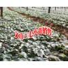 三七小苗图片#云南正宗三七小苗销售信息