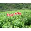 出售黄草乌苗丶种子#云南黄草乌哪里有苗卖