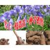大量出售黄草乌苗丶种子#今日黄草乌种子多少钱一斤?