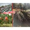 丽江玉龙雪桃苗圃&丽江雪桃花#云南哪里有雪桃小苗卖
