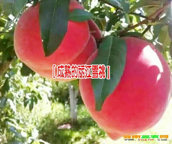 首页 图库 种苗  丽江雪桃树苗厂家,订苗: 15969392580