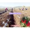 丽江5公分雪桃树苗|丽江5cm雪桃树苗|丽江春华育苗公司