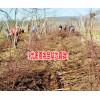 丽江雪桃苗种植海拔要求_云南雪桃树苗厂家直销15969392580_丽江春华育苗公司