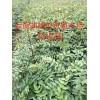 产地蜂糖李苗| 蜂糖李子树苗|贵州蜂糖李苗| 蜂糖李树苗|